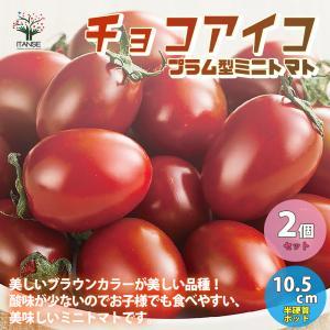 高糖度ミニトマトの苗 チョコアイコ 高糖度・カラフル 野菜の苗 自根苗 10.5cmポット お買い得2個セット  人気 家庭菜園  送料無料|itanse