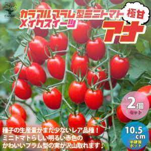 極甘プラム型フルーツミニトマト メイクスイーツ アナ フルーツミニトマトの苗 野菜の苗 自根苗 10.5cmポット お得2個セット 送料無料|itanse