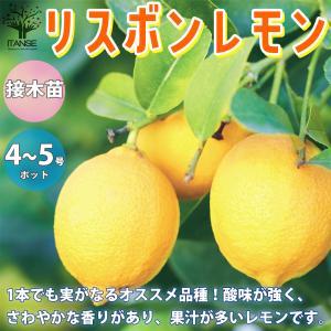 レモンの苗木 リスボン 果樹の苗木  12〜15cmポット 1個売り 果樹 果物 栽培 趣味 園芸 ガーデニング  送料無料|itanse