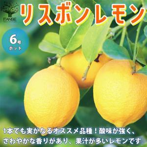 レモンの苗木 リスボン 果樹の苗木  6号鉢 1個売り 果樹 果物 栽培 趣味 園芸 ガーデニング  送料無料|itanse
