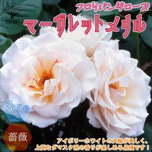 薔薇 マーガレットメリルフロリバンダローズ 花苗  3.5号ポット新苗 1個売り ボタニカル バラ園 rose フラワーガーデン 送料無料|itanse
