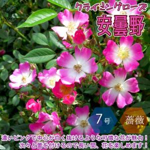 薔薇 つるバラ 安曇野(アズミノ) 花苗 アンドン仕立 7号鉢 大苗 1個売り  送料無料|itanse