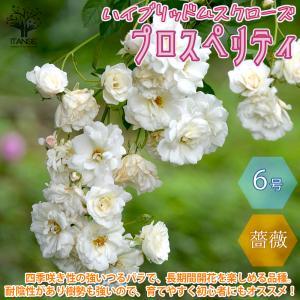 薔薇 つるバラ プロスペリティ ハイブリッドムスク 花苗  6号ポット 1個売り  送料無料|itanse