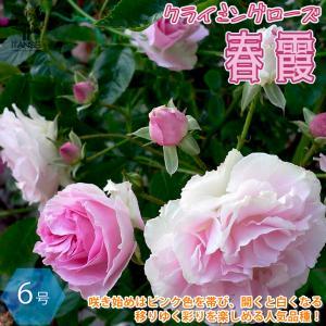 薔薇 ミニバラ つるバラ 春霞(はるがすみ) クライミングローズ 花苗  6号ポット 1個売り  送料無料|itanse