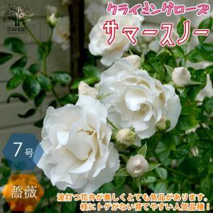 薔薇 つるバラ