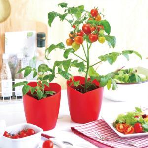 栽培セット ハートマト 背が高くならずお部屋に飾るのにちょうどいいミニサイズ 1個 送料無料|itanse