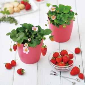 栽培キット ピンクの花咲くストロベリー栽培セット 1個 イチゴ栽培セット 簡単栽培キット セット販売 セット商品 送料無料|itanse
