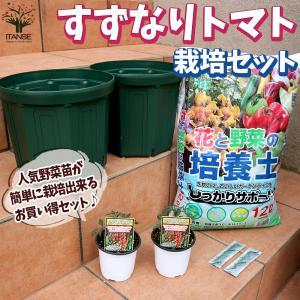 お買い得!栽培セット すずなりトマト 野菜の苗  9cm〜10.5cmポット苗 お買い得2個セット  送料無料|itanse