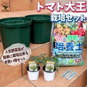 お買い得!栽培セット トマト大王2個 野菜の苗  9cm〜10.5cmポット苗 お買い得2個セット  送料無料|itanse