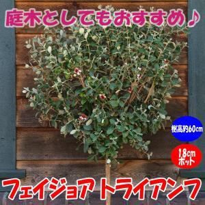 フェイジョア トライアンフ 花も美しい庭園向き果樹18cmポット 樹高約60cm1本 九州圃場より直...