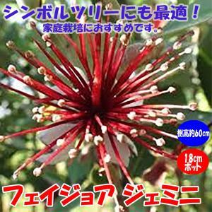 フェイジョア ジェミニ 花も美しい庭園向き果樹18cmポット 樹高約60cm1本 九州圃場より直送 送料無料 itanse