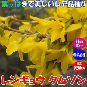 レンギョウ クムソン 庭園向き果樹24cmポット 樹高約50cm1本 九州圃場より直送 送料無料 itanse