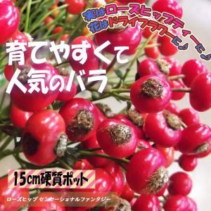 ローズヒップ センセーショナルファンタジー 薔薇苗硬質15cmポット 1個 送料無料 itanse