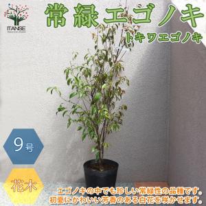 常緑エゴノキ(トキワエゴノキ)の苗  樹高約1m 庭木  27cmポット大苗 1個売り 庭木 植木  新生活 プレゼント 贈答 送料無料 itanse