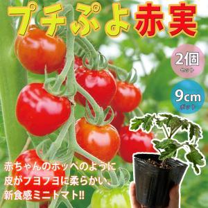 苗を植えて約30日で収穫開始できる、作りやすく食味の良いきゅうりです。 今が植え時です! ! ! 【9cmポット自根 野菜苗 2個セット】 自社農場から新鮮出荷! ! 6月から9月が植え付け適期! 「秋きゅうり苗」 野菜用の深めのプランターでも簡単に栽培できます。 【即出荷!プライム送料込み価格!】 ジメジメした梅雨時や暑い時期でも開花結実しやすい強健な品種で、長期間収穫可能です!