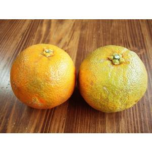 販売元:鹿島みかん村  フード・菓子、フルーツ・果物、みかん 無農薬の味わい豊かなだいだい  だいだ...
