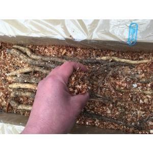 自然薯の一本種(種芋)15本 ※栽培説明書付き|itomedetashi