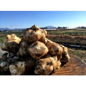 【無農薬栽培】菊芋(キクイモ)(20個)※料理レシピ付き野菜|itomedetashi