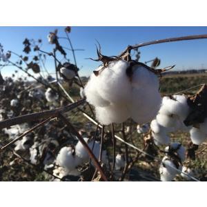 【無農薬栽培】綿の種「アップランド綿」(30粒)※栽培説明書付き|itomedetashi