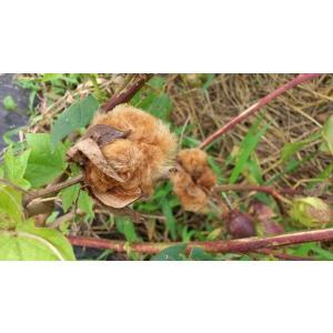 【無農薬栽培】綿の種「赤綿」(30粒)※栽培説明書付き|itomedetashi