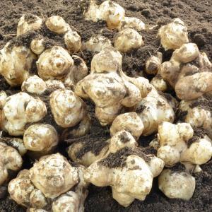 とれたて生菊芋(キクイモ)1kg 土付き 熊本県産 無農薬栽培 冬季限定 数量限定