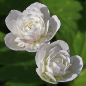 「二羽鶴(ニワヅル)」はニリンソウの美しい千重咲きの品種です。