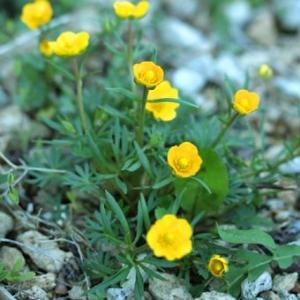 「北岳金鳳花(きただけきんぽうげ)」は本州の北岳・間ノ岳に生えるキンポウゲで、日本固有の高山植物です...