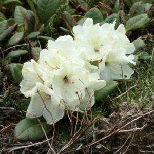 「黄花石楠花(きばなしゃくなげ)」は高山のれき地やハイマツ帯に生える常緑小低木です。幹は地面を這うよ...