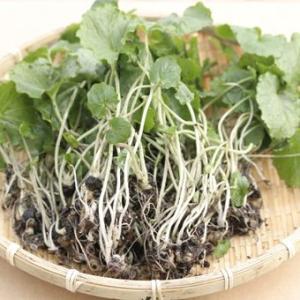本ワサビのような太い根にはならず、葉や茎を食べるタイプのワサビです。爽やかな辛味がサラダに良く合いま...