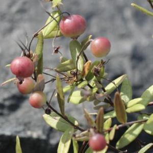 ツルコケモモ 北海道産