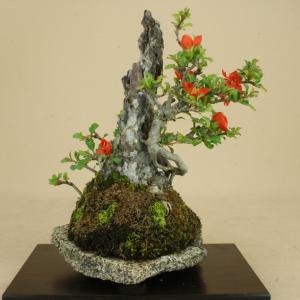 【送料無料】 長寿梅 赤花 石付 貴風サイズ 【雑木盆栽】いよじ園