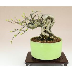 【送料無料】 匂い楓 / ニオイカエデ 根上り 小品盆栽 【いよじ園 伊予路園】