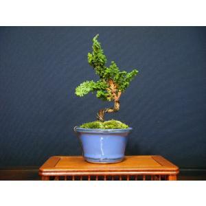 石化檜ミニ盆栽|izubonstore
