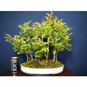 ヒメシャラ寄せ植え盆栽中品 11本植え|izubonstore