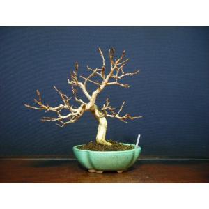かなしで小品盆栽素材|izubonstore