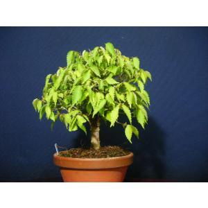 本ケヤキ3-1>小品盆栽素材|izubonstore