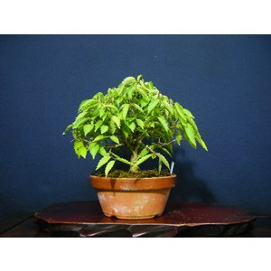 本ケヤキ5-1>小品盆栽素材|izubonstore