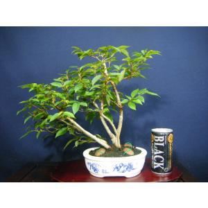 カナシデ5本寄せ植え盆栽|izubonstore