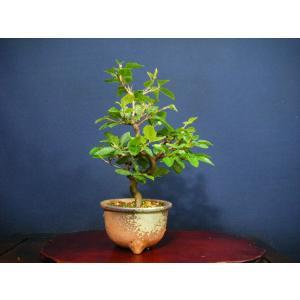 いわしで模様木小品盆栽|izubonstore