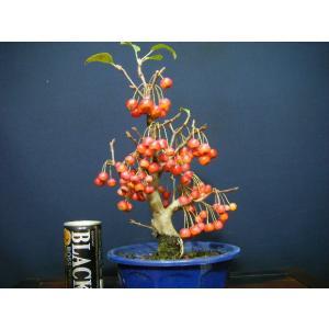 深山海棠 実付き盆栽|izubonstore