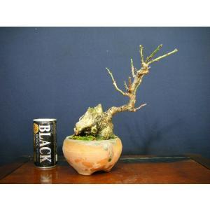 野梅盆栽 花芽付き izubonstore