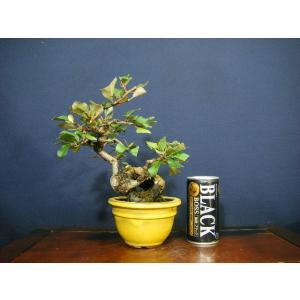 寒グミ模様木小品盆栽|izubonstore