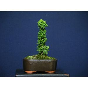 石化檜0-2直幹ミニ盆栽|izubonstore