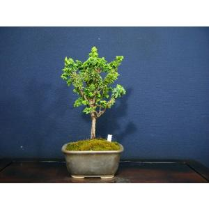 石化檜箒仕立て小品盆栽素材|izubonstore