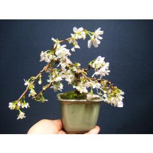 枝垂れ桜小品盆栽 花芽付き izubonstore