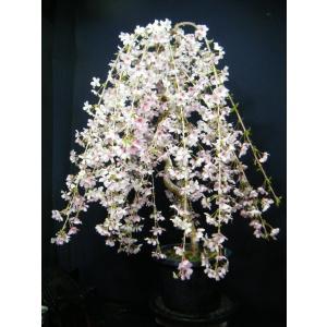大しだれ桜大品盆栽>花芽がいっぱい開花が楽しみ izubonstore