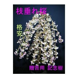 大枝垂れ桜大品盆栽>花芽が沢山開花が楽しみ、 izubonstore