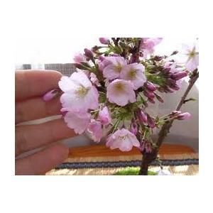 桜盆栽。御殿場桜小品盆栽、花芽付き  現物発送 izubonstore