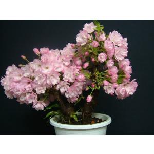 桜盆栽>旭山二本桜(3)>花芽がいっぱい開花楽しみ izubonstore