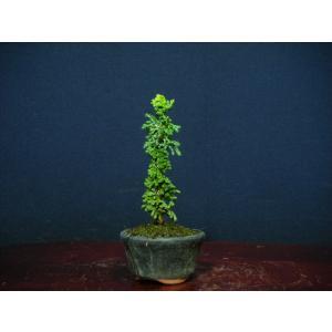 石化檜3-2直幹仕立てミニ盆栽|izubonstore
